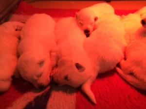 cuccioli a 15 giorni
